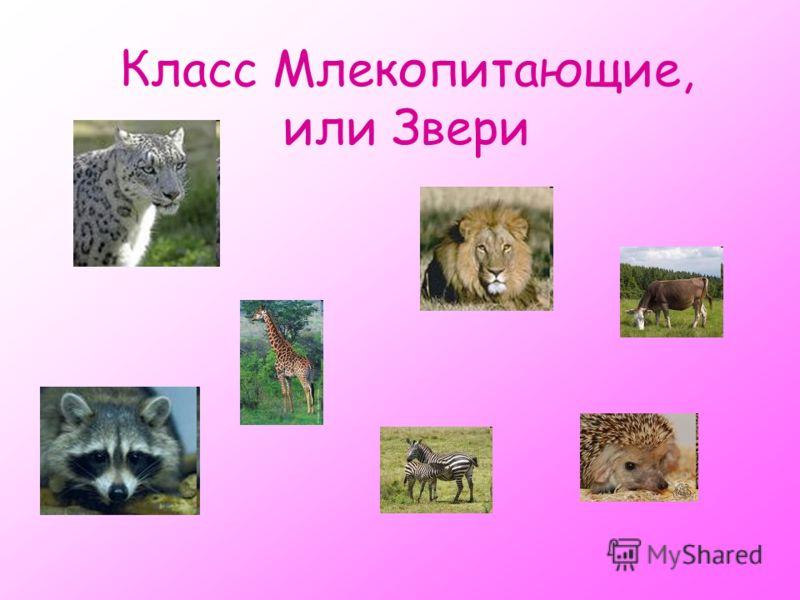 Класс Млекопитающие, или Звери