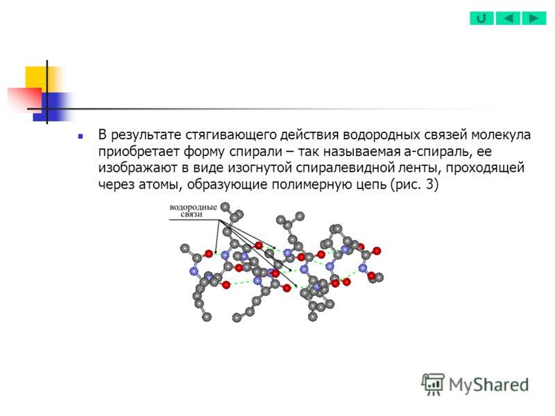 В результате стягивающего действия водородных связей молекула приобретает форму спирали – так называемая a-спираль, ее изображают в виде изогнутой спиралевидной ленты, проходящей через атомы, образующие полимерную цепь (рис. 3)
