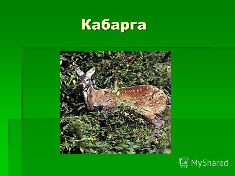 Кабарга Кабарга