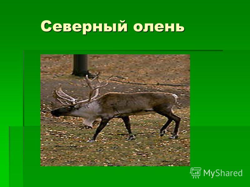 Северный олень Северный олень