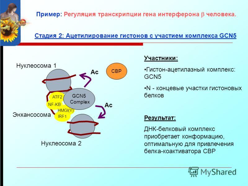ATF2 NF-KB IRF1 Энхансосома Участники: Гистон-ацетилазный комплекс: GCN5 N - концевые участки гистоновых белков Результат: ДНК-белковый комплекс приобретает конформацию, оптимальную для привлечения белка-коактиватора CBP Нуклеосома 1 Нуклеосома 2 Ста