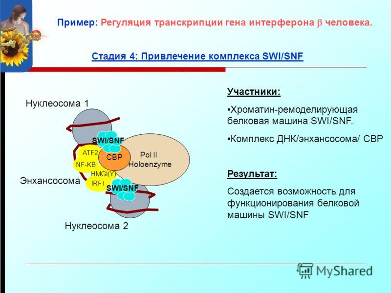 ATF2 NF-KB IRF1 Энхансосома Участники: Хроматин-ремоделирующая белковая машина SWI/SNF. Комплекс ДНК/энхансосома/ CBP Результат: Создается возможность для функционирования белковой машины SWI/SNF Нуклеосома 1 Нуклеосома 2 Стадия 4: Привлечение компле