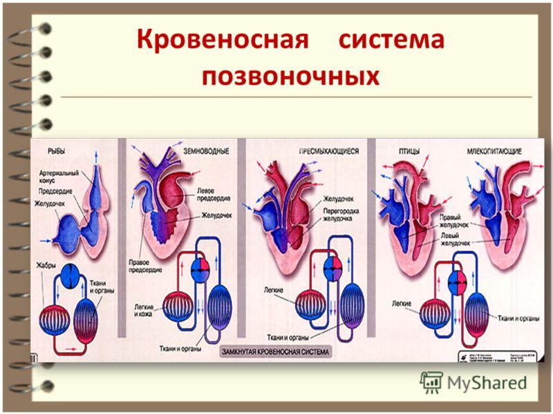 Кровеносная система позвоночных