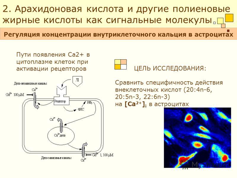 ЦЕЛЬ ИССЛЕДОВАНИЯ: Сравнить специфичность действия внеклеточных кислот (20:4n-6, 20:5n-3, 22:6n-3) на [Ca 2+ ] i в астроцитах Пути появления Ca2+ в цитоплазме клеток при активации рецепторов Регуляция концентрации внутриклеточного кальция в астроцита