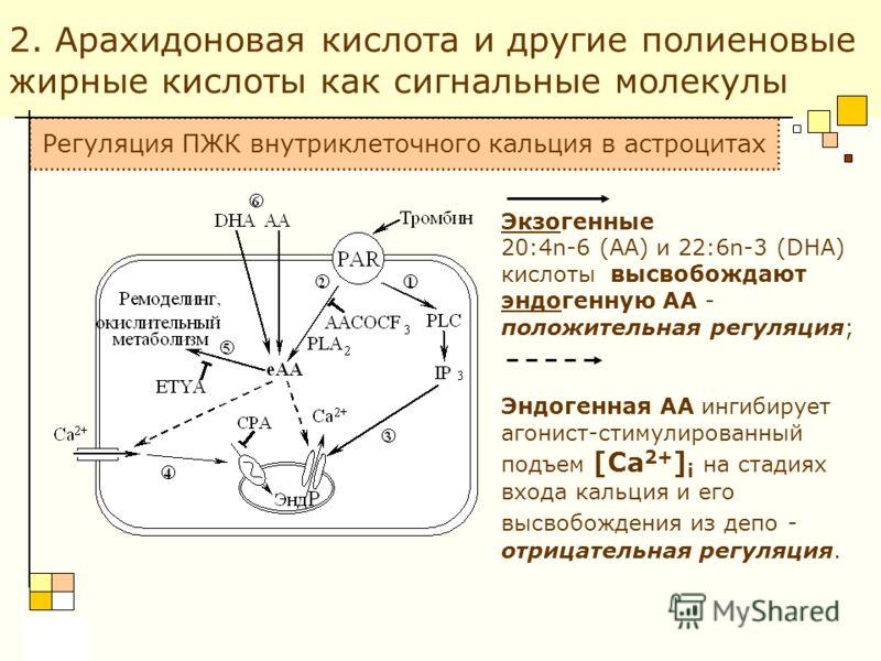 2. Арахидоновая кислота и другие полиеновые жирные кислоты как сигнальные молекулы Экзогенные 20:4n-6 (АА) и 22:6n-3 (DHA) кислоты высвобождают эндогенную АА - положительная регуляция; Эндогенная АА ингибирует агонист-стимулированный подъем [Ca 2+ ]