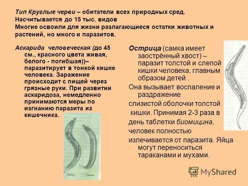 Тип Круглые черви – обитатели всех природных сред. Насчитывается до 15 тыс. видов Многие освоили для жизни разлагающиеся остатки животных и растений, но много и паразитов. Аскарида человеческая (до 45 см., красного цвета живая, белого - погибшая))– п