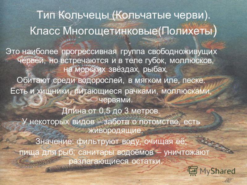 Тип Кольчецы (Кольчатые черви). Класс Многощетинковые(Полихеты ) Это наиболее прогрессивная группа свободноживущих червей, но встречаются и в теле губок, моллюсков, на морских звёздах, рыбах. Обитают среди водорослей, в мягком иле, песке. Есть и хищн