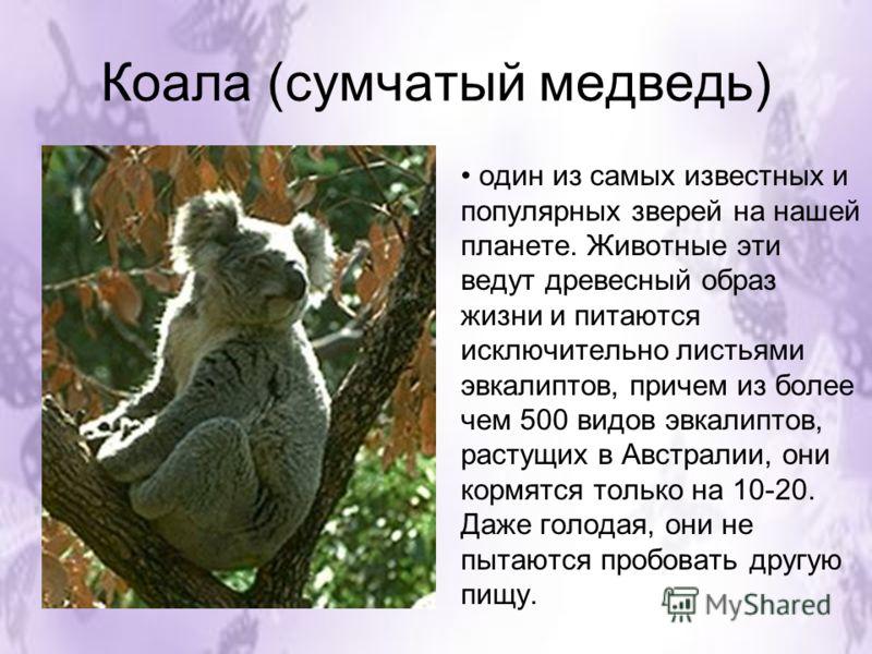 Коала (сумчатый медведь) один из самых известных и популярных зверей на нашей планете. Животные эти ведут древесный образ жизни и питаются исключительно листьями эвкалиптов, причем из более чем 500 видов эвкалиптов, растущих в Австралии, они кормятся
