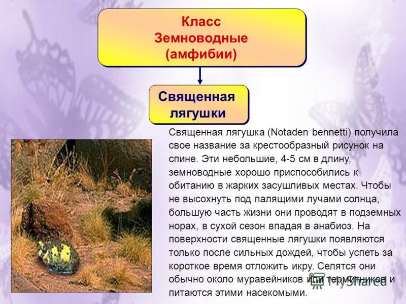 Класс Земноводные (амфибии) Класс Земноводные (амфибии) Священная лягушки Священная лягушки Священная лягушка (Notaden bennetti) получила свое название за крестообразный рисунок на спине. Эти небольшие, 4-5 см в длину, земноводные хорошо приспособили