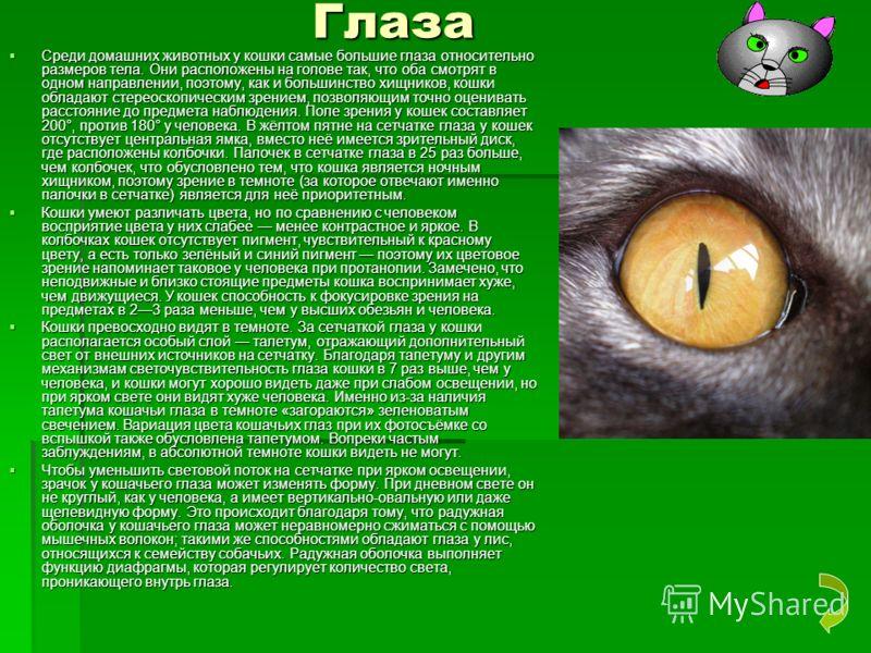 Глаза Глаза Среди домашних животных у кошки самые большие глаза относительно размеров тела. Они расположены на голове так, что оба смотрят в одном направлении, поэтому, как и большинство хищников, кошки обладают стереоскопическим зрением, позволяющим