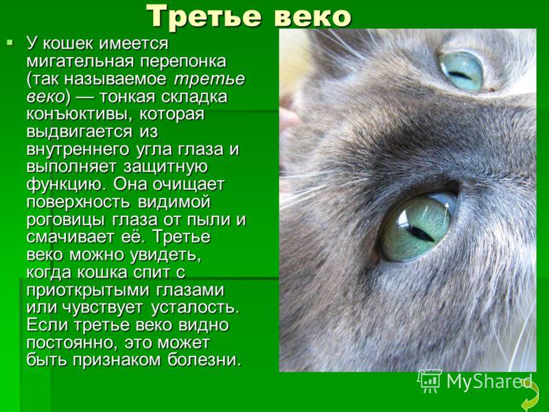Третье веко Третье веко У кошек имеется мигательная перепонка (так называемое третье веко) тонкая складка конъюктивы, которая выдвигается из внутреннего угла глаза и выполняет защитную функцию. Она очищает поверхность видимой роговицы глаза от пыли и