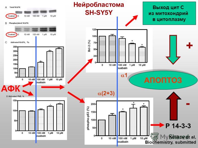 D Aktivated PkB, % Нейробластома SH-SY5Y Р 14-3-3 АПОПТОЗ Выход цит С из митохондрий в цитоплазму + - Kulikov et al, Biochemistry, submitted АФК (2+3) 1