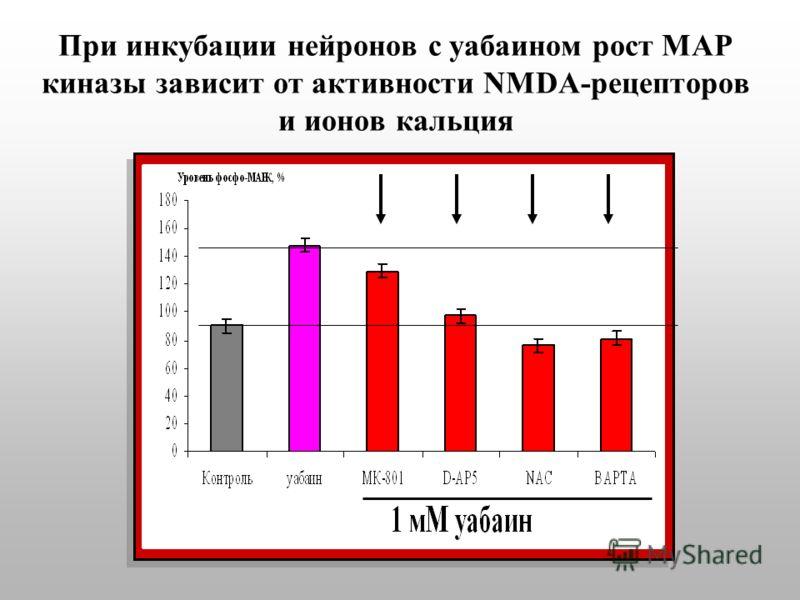 При инкубации нейронов с уабаином рост МАР киназы зависит от активности NMDA-рецепторов и ионов кальция