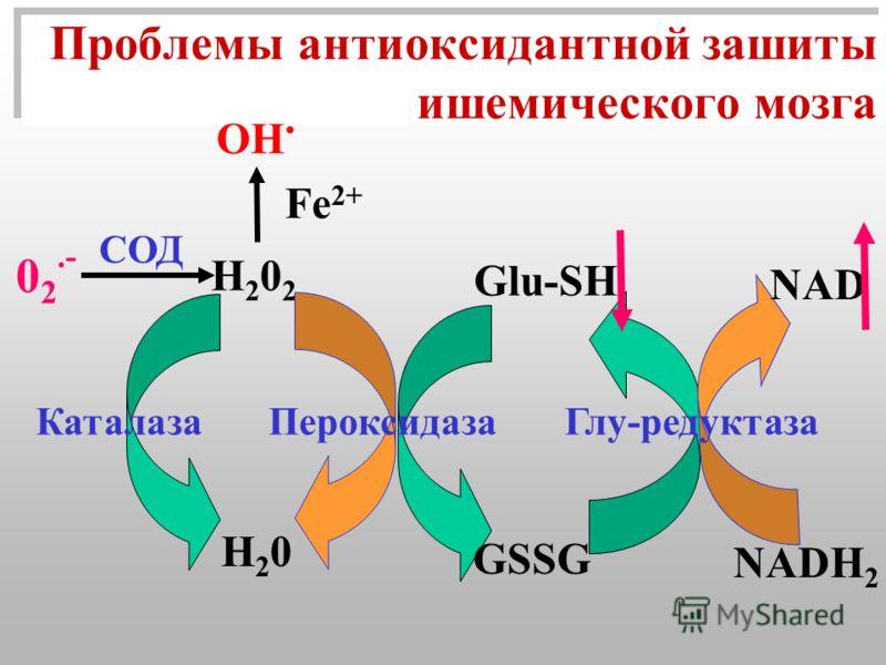 Проблемы антиоксидантной зашиты ишемического мозга Н202 Н202 Fe 2+ OH. Н20 Н20 Glu-SH NAD NADH 2 GSSG Каталаза Пероксидаза Глу-редуктаза 0 2.- СОД