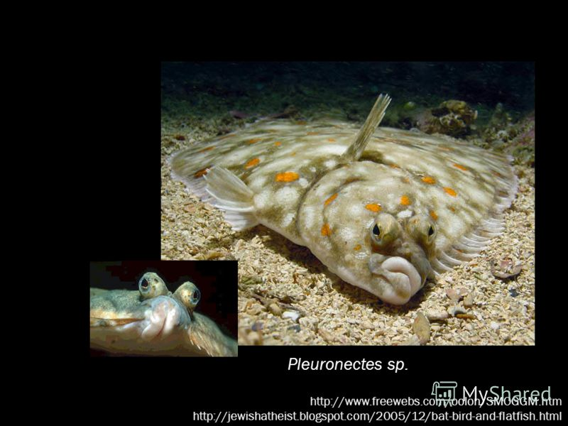 Pleuronectes sp. http://www.freewebs.com/oolon/SMOGGM.htm http://jewishatheist.blogspot.com/2005/12/bat-bird-and-flatfish.html