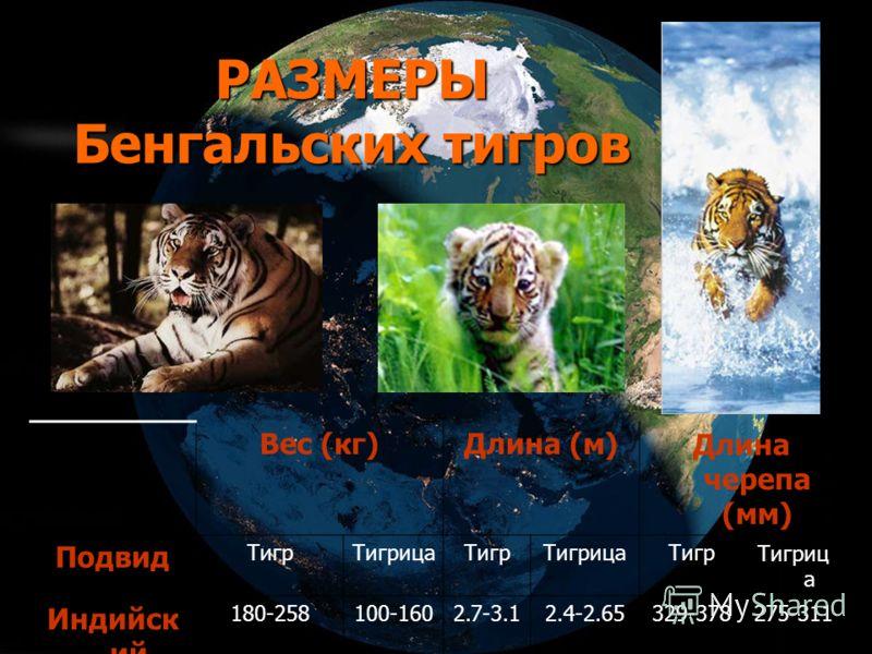 РАЗМЕРЫ Бенгальских тигров Вес (кг)Длина (м)Длина черепа (мм) Подвид ТигрТигрицаТигрТигрицаТигрТигриц а Индийск ий 180-258100-1602.7-3.12.4-2.65329-378275-311