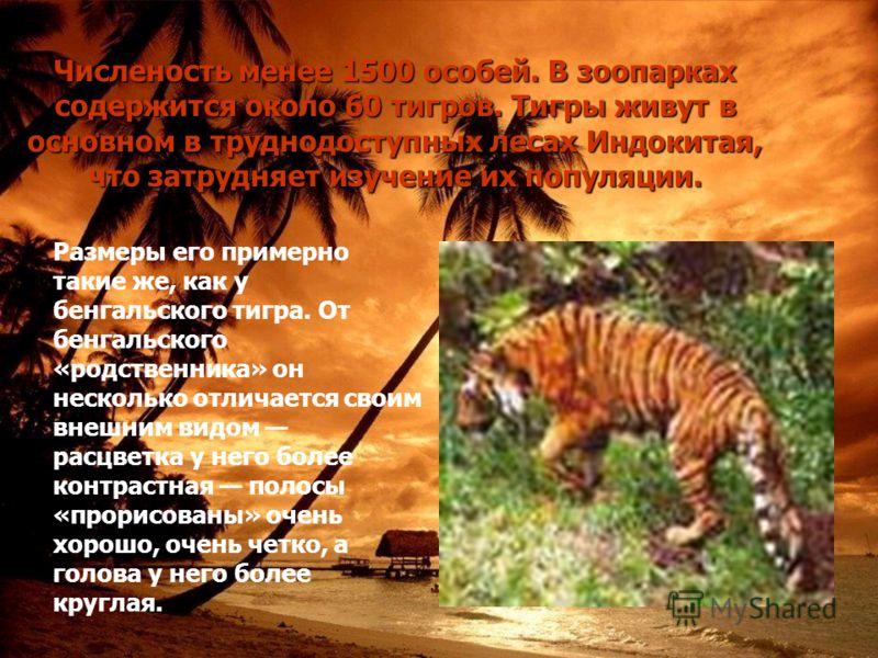 Численость менее 1500 особей. В зоопарках содержится около 60 тигров. Тигры живут в основном в труднодоступных лесах Индокитая, что затрудняет изучение их популяции. Размеры его примерно такие же, как у бенгальского тигра. От бенгальского «родственни
