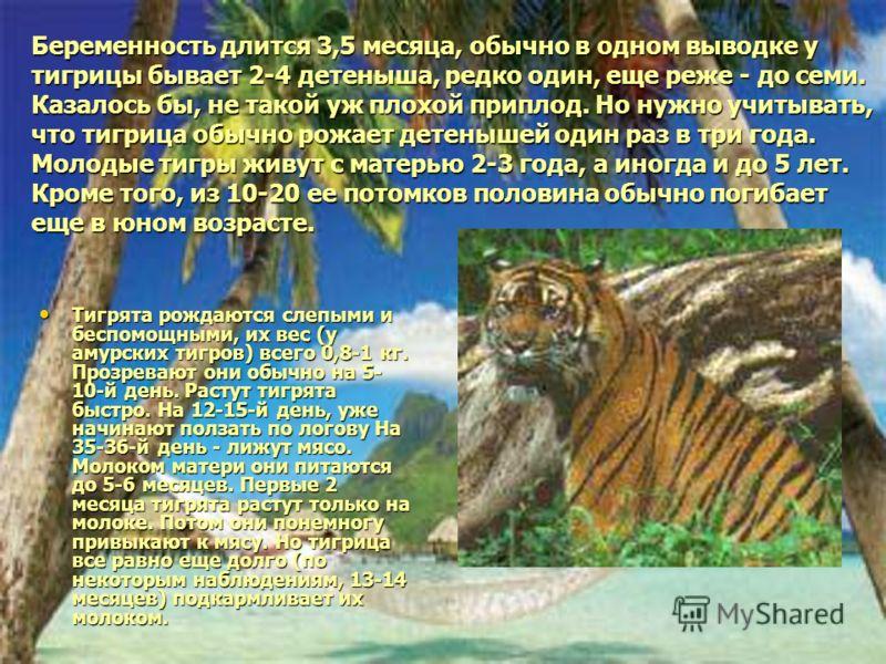 Беременность длится 3,5 месяца, обычно в одном выводке у тигрицы бывает 2-4 детеныша, редко один, еще реже - до семи. Казалось бы, не такой уж плохой приплод. Но нужно учитывать, что тигрица обычно рожает детенышей один раз в три года. Молодые тигры