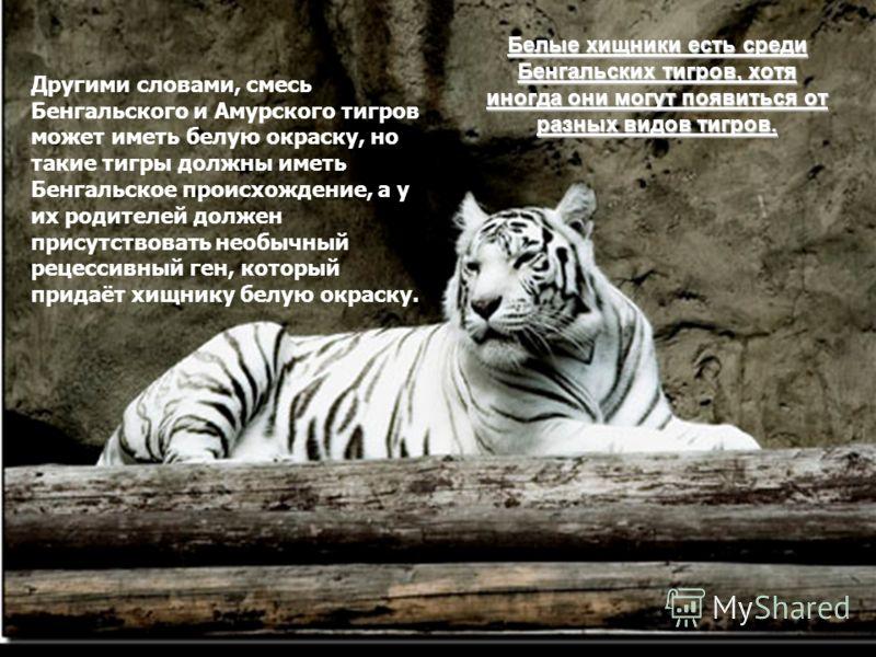 Белые хищники есть среди Бенгальских тигров, хотя иногда они могут появиться от разных видов тигров. Другими словами, смесь Бенгальского и Амурского тигров может иметь белую окраску, но такие тигры должны иметь Бенгальское происхождение, а у их родит