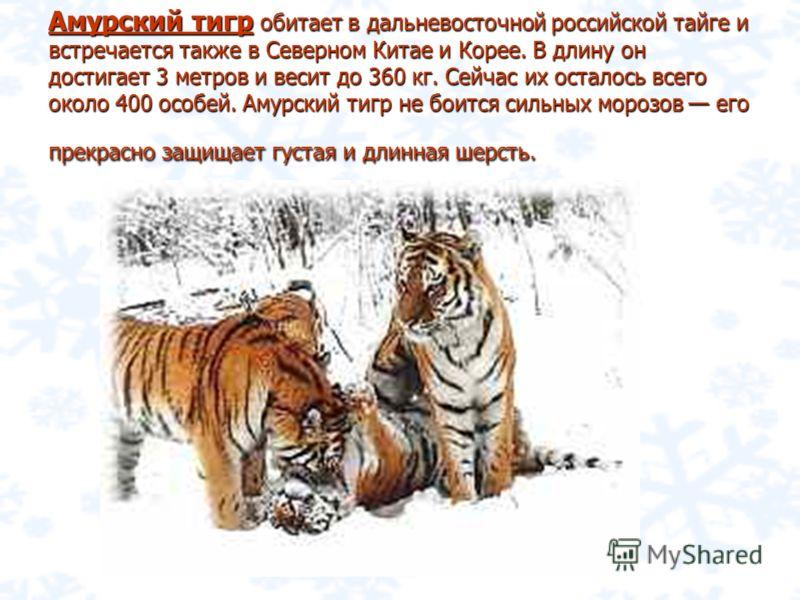 письмо браконьеру про амурского тигра Новое сайте Новый