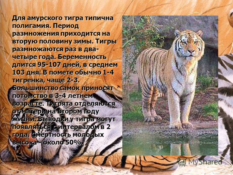 project tiger essay Long essay on project tiger, free essays on essay on indian tigers in hindi for students use our touchstone wants to marry audrey.