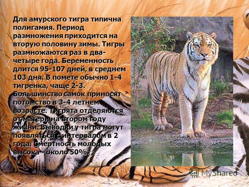 Для амурского тигра типична полигамия. Период размножения приходится на вторую половину зимы. Тигры размножаются раз в два- четыре года. Беременность длится 95-107 дней, в среднем 103 дня. В помете обычно 1-4 тигренка, чаще 2-3. Большинство самок при