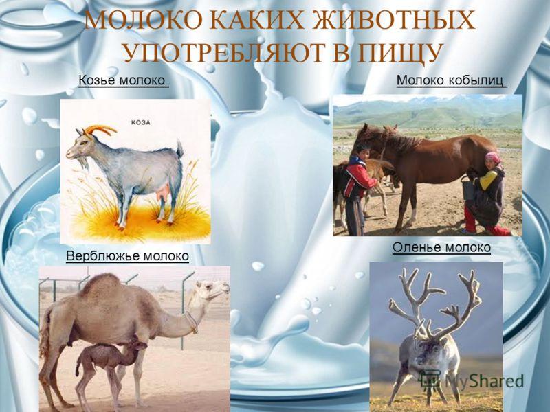 МОЛОКО КАКИХ ЖИВОТНЫХ УПОТРЕБЛЯЮТ В ПИЩУ Козье молокоМолоко кобылиц Верблюжье молоко Оленье молоко