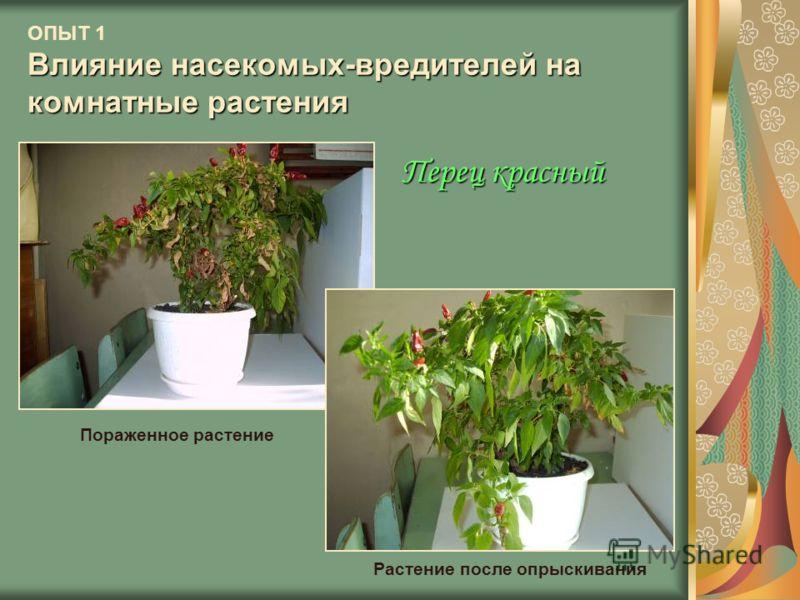 Влияние насекомых-вредителей на комнатные растения ОПЫТ 1 Влияние насекомых-вредителей на комнатные растения Пораженное растение Растение после опрыскивания Перец красный