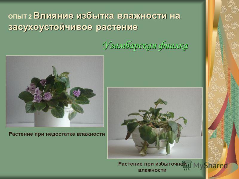 Влияние избытка влажности на засухоустойчивое растение ОПЫТ 2 Влияние избытка влажности на засухоустойчивое растение Растение при недостатке влажности Растение при избыточной влажности Узамбарская фиалка