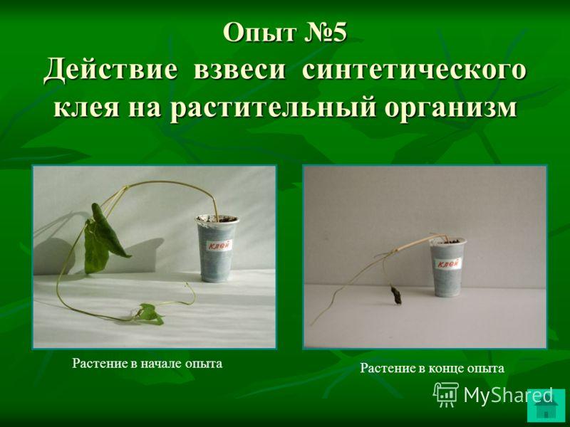 Опыт 5 Действие взвеси синтетического клея на растительный организм Растение в конце опыта Растение в начале опыта