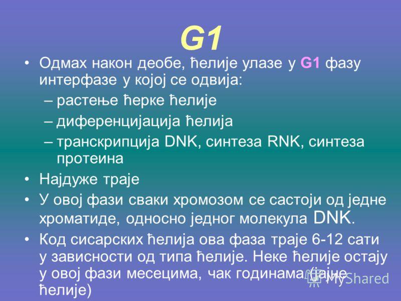 G1 Одмах након деобе, ћелије улазе у G1 фазу интерфазе у којој се одвија: –растење ћерке ћелије –диференцијација ћелија –транскрипција DNK, синтеза RNK, синтеза протеина Најдуже траје У овој фази сваки хромозом се састоји од једне хроматиде, односно
