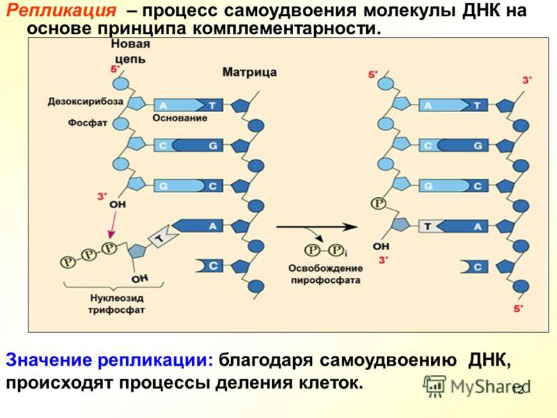 12 Репликация – процесс самоудвоения молекулы ДНК на основе принципа комплементарности. Значение репликации: благодаря самоудвоению ДНК, происходят процессы деления клеток.