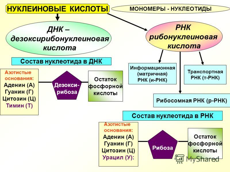 Состав нуклеотида днк