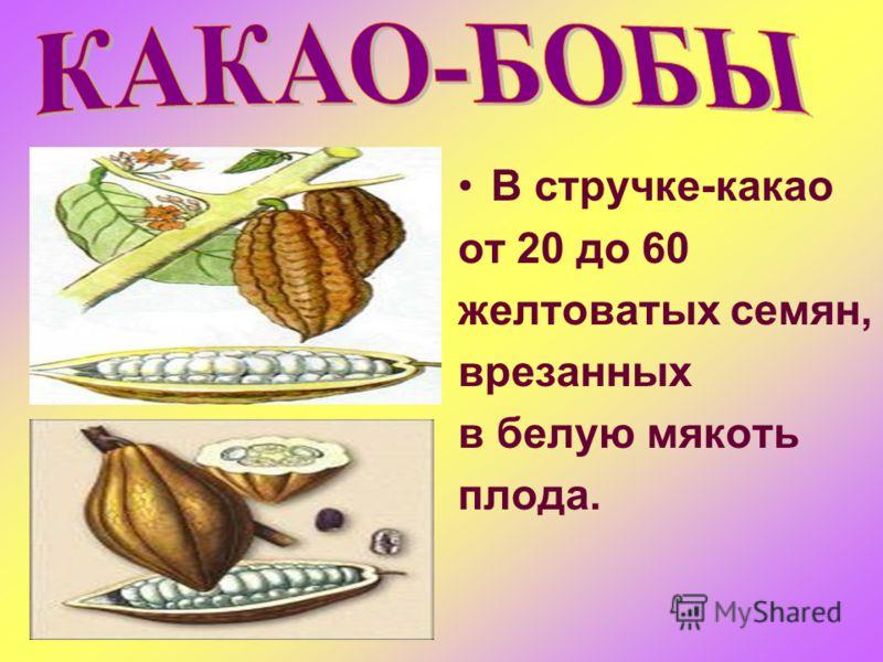 В стручке-какао от 20 до 60 желтоватых семян, врезанных в белую мякоть плода.