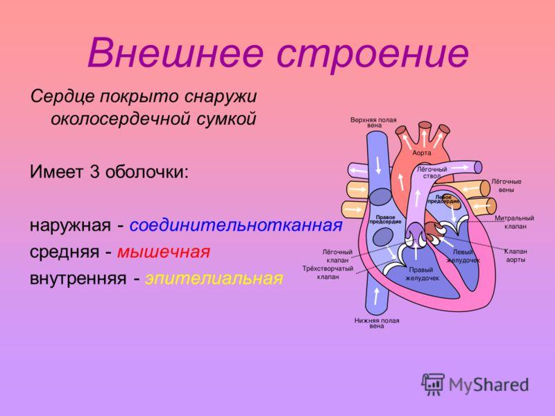 Внешнее строение Сердце покрыто снаружи околосердечной сумкой Имеет 3 оболочки: наружная - соединительнотканная средняя - мышечная внутренняя - эпителиальная