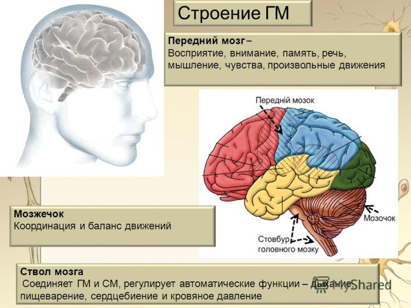 Мозжечок Координация и баланс движений Передний мозг – Восприятие, внимание, память, речь, мышление, чувства, произвольные движения Ствол мозга Соединяет ГМ и СМ, регулирует автоматические функции – дыхание, пищеварение, сердцебиение и кровяное давле