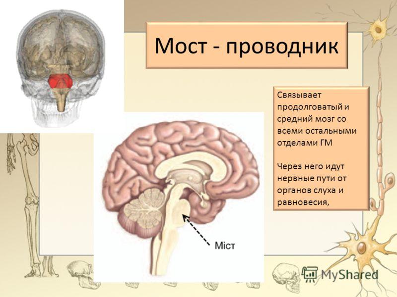 Мост - проводник Связывает продолговатый и средний мозг со всеми остальными отделами ГМ Через него идут нервные пути от органов слуха и равновесия,