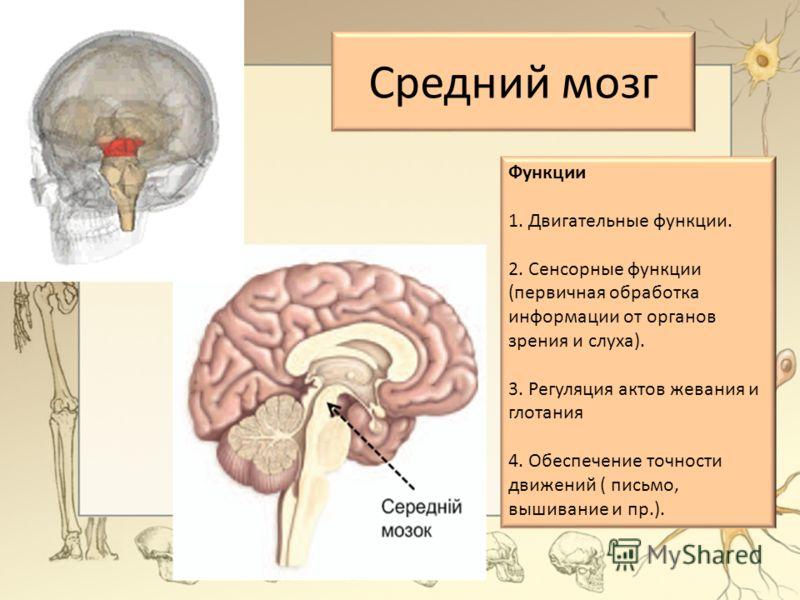 Функции 1. Двигательные функции. 2. Сенсорные функции (первичная обработка информации от органов зрения и слуха). 3. Регуляция актов жевания и глотания 4. Обеспечение точности движений ( письмо, вышивание и пр.). Средний мозг