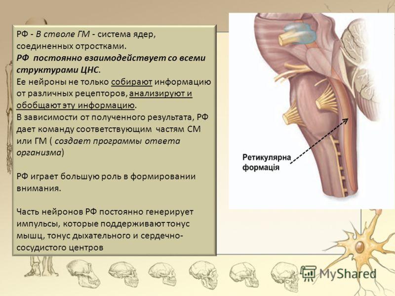 РФ - В стволе ГМ - система ядер, соединенных отростками. РФ постоянно взаимодействует со всеми структурами ЦНС. Ее нейроны не только собирают информац