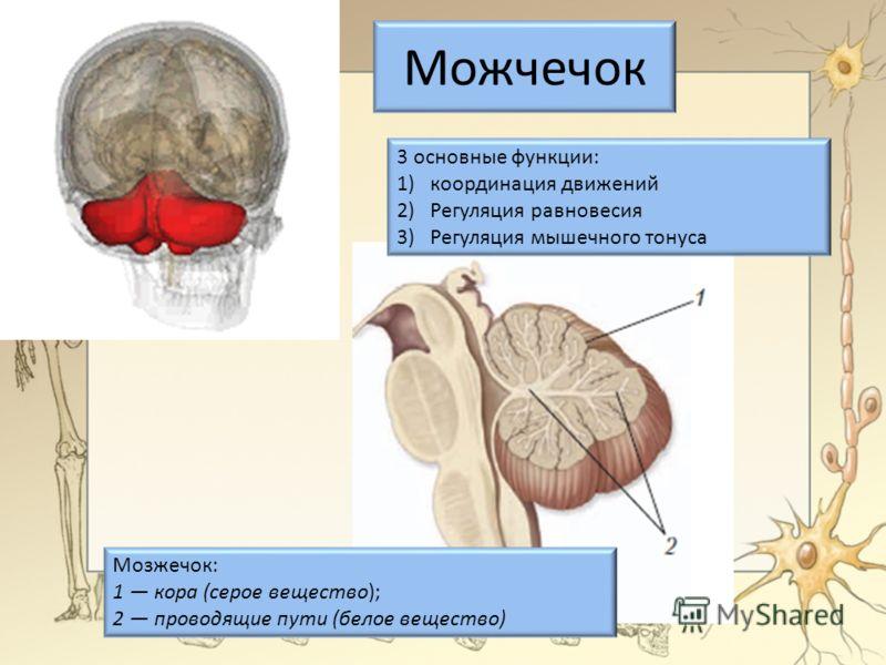Можчечок Мозжечок: 1 кора (серое вещество); 2 проводящие пути (белое вещество) 3 основные функции: 1)координация движений 2)Регуляция равновесия 3)Регуляция мышечного тонуса