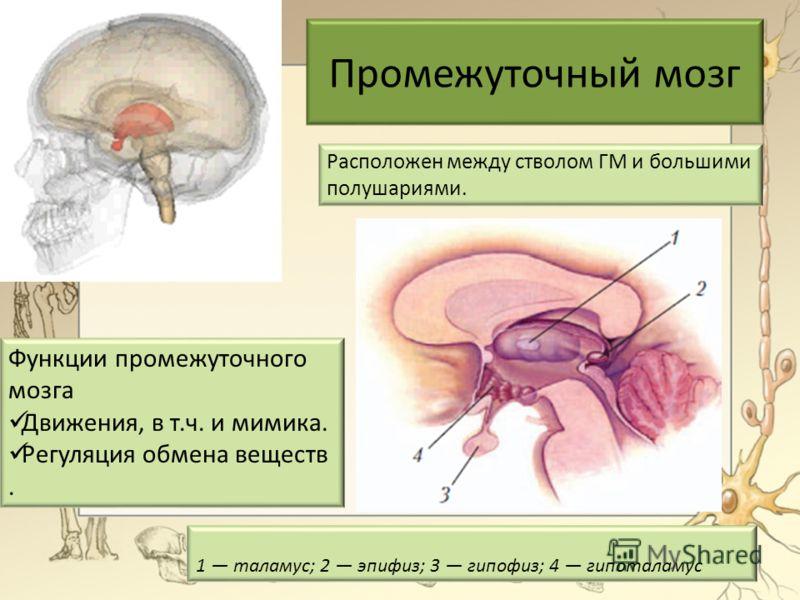 Промежуточный мозг 1 таламус; 2 эпифиз; 3 гипофиз; 4 гипоталамус Расположен между стволом ГМ и большими полушариями. Функции промежуточного мозга Движения, в т.ч. и мимика. Регуляция обмена веществ.