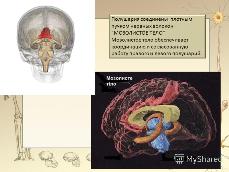 Полушария соединены плотным пучком нервных волокон – МОЗОЛИСТОЕ ТЕЛО Мозолистое тело обеспечивает координацию и согласованную работу правого и левого