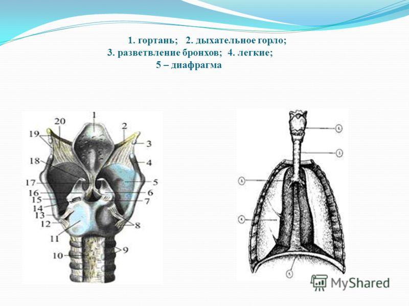 1. гортань; 2. дыхательное горло; 3. разветвление бронхов; 4. легкие; 5 – диафрагма