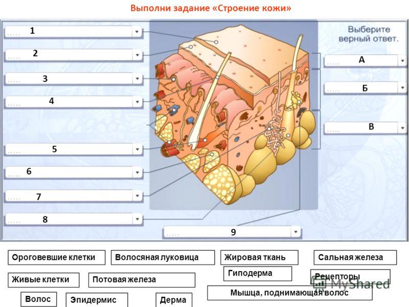 Ороговевшие клетки Живые клетки Волосяная луковицаЖировая ткань Потовая железа Мышца, поднимающая волос Сальная железа Рецепторы Волос ЭпидермисДерма Гиподерма Выполни задание «Строение кожи» 1 2 3 4 5 6 7 8 9 А Б В