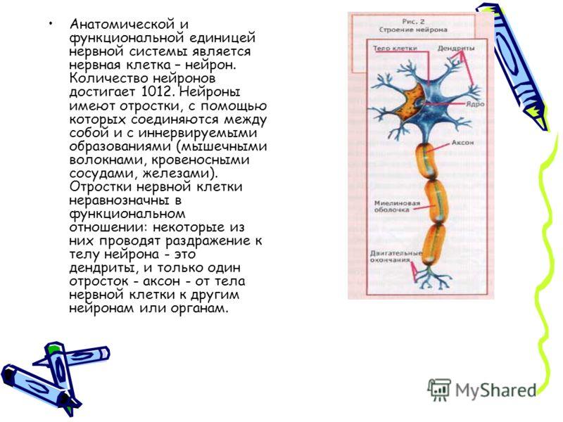 Анатомической и функциональной единицей нервной системы является нервная клетка – нейрон. Количество нейронов достигает 1012. Нейроны имеют отростки, с помощью которых соединяются между собой и с иннервируемыми образованиями (мышечными волокнами, кро