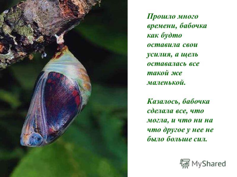 Прошло много времени, бабочка как будто оставила свои усилия, а щель оставалась все такой же маленькой. Казалось, бабочка сделала все, что могла, и что ни на что другое у нее не было больше сил.