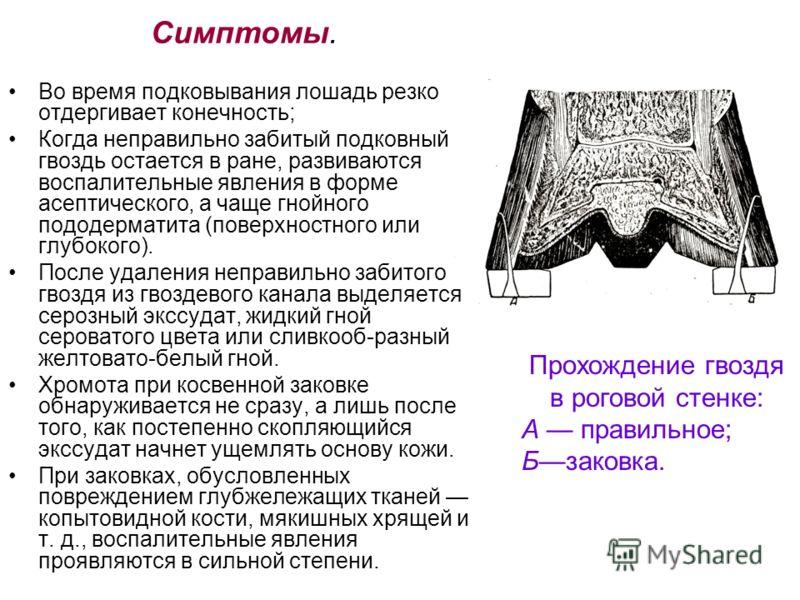 Симптомы. Во время подковывания лошадь резко отдергивает конечность; Когда неправильно забитый подковный гвоздь остается в ране, развиваются воспалительные явления в форме асептического, а чаще гнойного пододерматита (поверхностного или глубокого). П