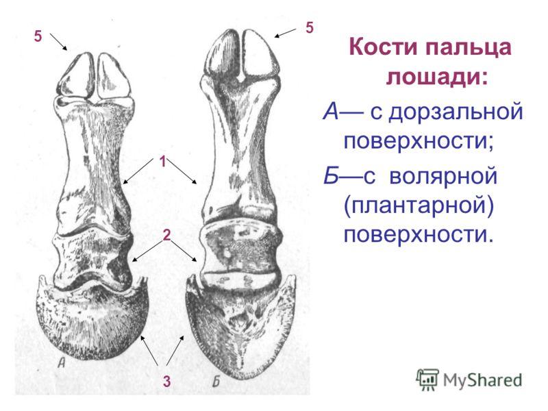 Кости пальца лошади: А с дорзальной поверхности; Бс волярной (плантарной) поверхности. 5 5 1 2 3