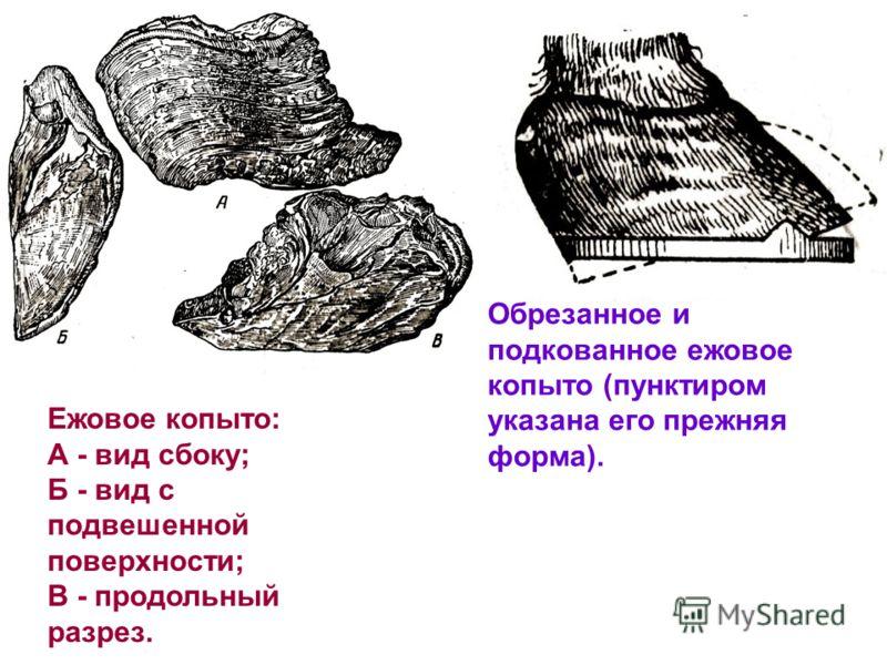 Ежовое копыто: А - вид сбоку; Б - вид с подвешенной поверхности; В - продольный разрез. Обрезанное и подкованное ежовое копыто (пунктиром указана его прежняя форма).