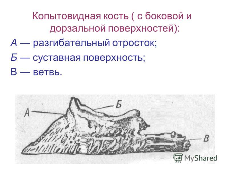 Копытовидная кость ( с боковой и дорзальной поверхностей): А разгибательный отросток; Б суставная поверхность; В ветвь.
